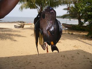 Kribi_catch