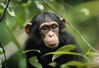 Cute_chimp